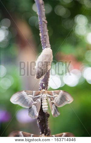 beautiful tropical grey brown and white moth butterfly named Samia Ricini or Cynthia from Saturniidae family also known as Ailanthus silk moth and cocoon in branch plant stock photo