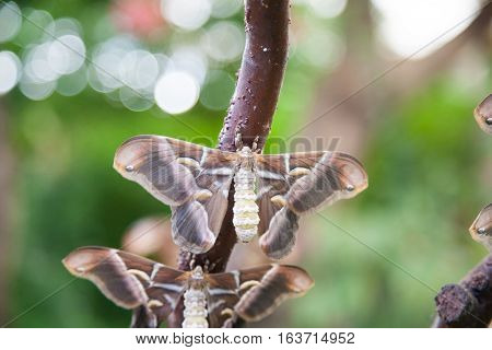 beautiful tropical grey brown and white moth butterfly named Samia Ricini or Cynthia from Saturniidae family also known as Ailanthus silk moth in branch plant stock photo