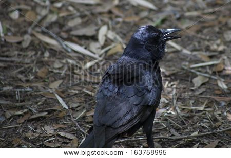 Crow hopping along the ground in the fall stock photo
