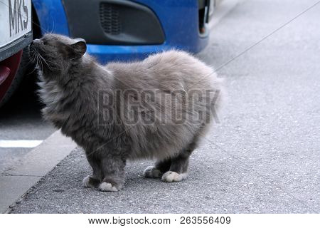 thick gray fluffy street cat stands by a burgundy car on gray asphalt and sniffs it, the animal has white paws and chest, in the background is part of a second car of blue color, stock photo
