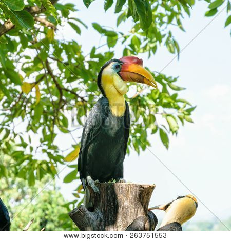 Wrinkled Hornbill, Sunda Wrinkled Hornbill or Aceros Corrugatus. It is a large bird with black feathers and the neck is bright yellow, red casque on top of its bill are perch on tree in Thailand stock photo