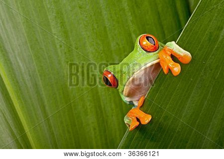 red eyed tree frog peeping curiously between green leafs in rainforest Costa Rica curious cute night animal tropical exotic amphibian stock photo
