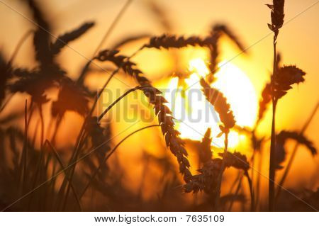 Eers of wheat. Soft sunset light . stock photo