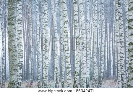Frozen Birch Forest