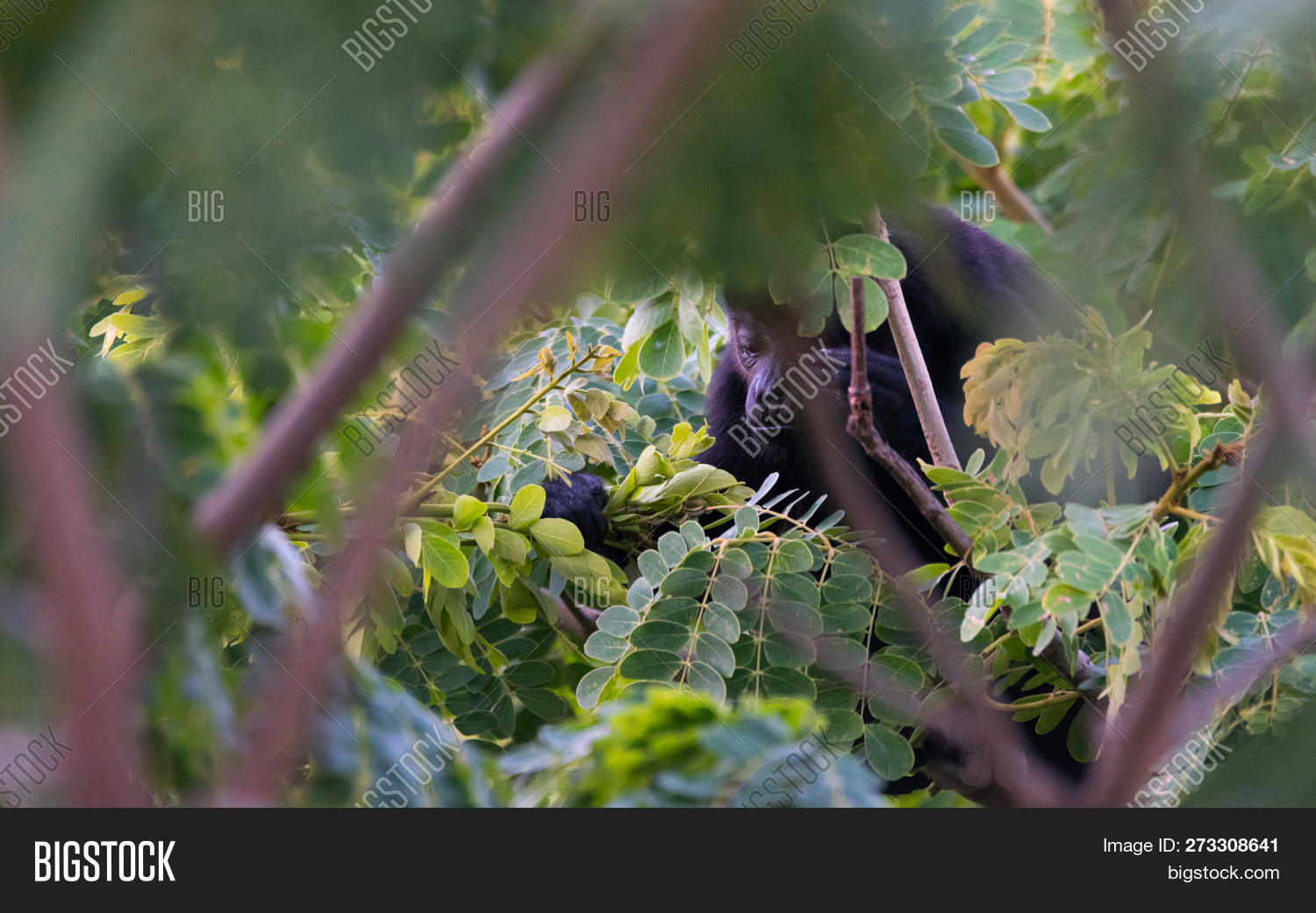 active,adult,agile,alert,animal,black,branches,calm,creature,dark,environment,eyes,face,foraging,forest,fur,furry,green,habitat,hairy,head,howler,jungle,large,leaves,mammal,mango,monkey,nature,primate,social,strong,tail,tree,treetop,tropical,wild,wildlife
