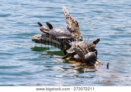 group of turtles varying in sizes enjoying the sunshine on a log  floating in the pond stock photo