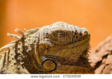 Big lizard - green iguana sitting motionless in the Valera in the pet store with his eyes closed closeup. Iguana's asleep. Terrarium stock photo