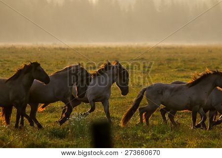 Herd of horses grazing in a meadow in the mist. Horses in a foggy meadow in autumn. Horses and foggy morning in Kemeri National Park, Latvia. Wild horses grazing in the meadow on misty summer morning. stock photo