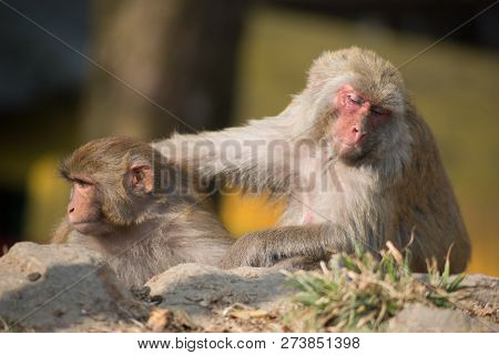 two monkeys sit side by side and interact, one monkey has a sad face in an Indian temple stock photo
