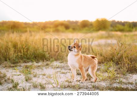 Beautiful Young Red Shiba Inu Puppy Dog Standing Outdoor In Meadow During Sunset. stock photo