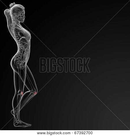 3d rendered illustration of the female patella bone - side view stock photo