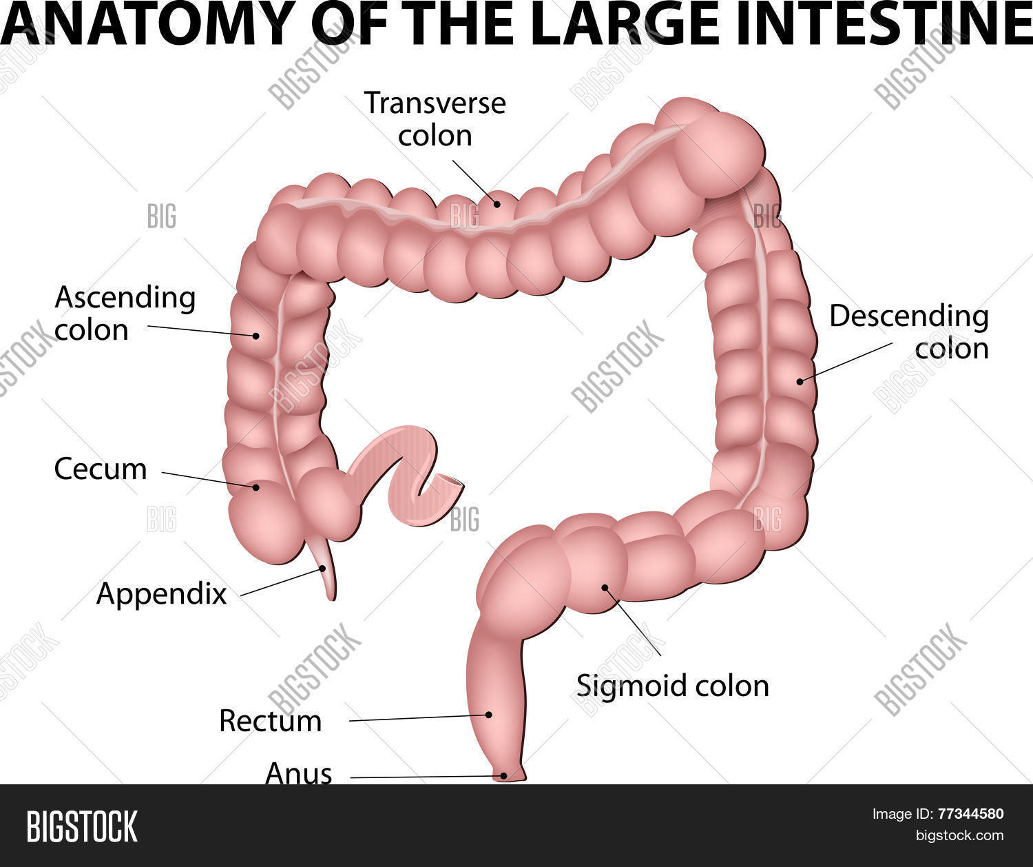 Large Intestine Human Anatomy