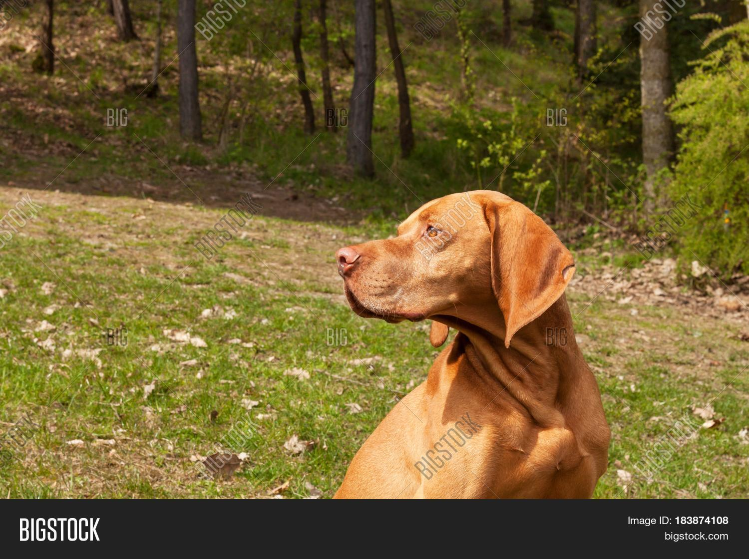 Friend,animal,background,beautiful,beauty,brown,chase,close,closeup,color,cute,day,detail,dog,eyes,field,focus,forest,grass,green,happy,head,hound,hungarian,hunt,hunter,hunting,image,landscape,loyalty,magyar,meadow,nature,one,outdoor,pet,pointer,portrait,profile,purebred,sniff,spring,summer,sunlit,visla,viszla,vizsla,white,young