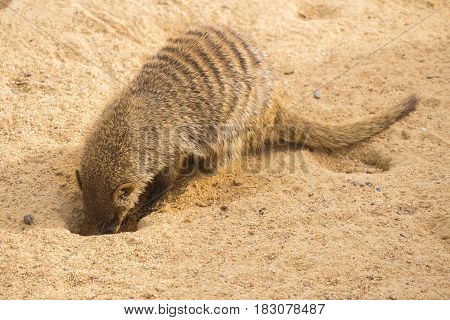 Banded mongoose digging in the sand Mungos mungo stock photo