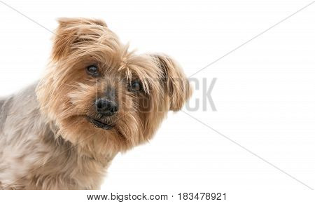 funny dog isolated face peeking from one side, surprised dog. dogguie with curiosity expression raising his ears. Hey what's up dog brown Yorkshire Terrier dog. Blurry background