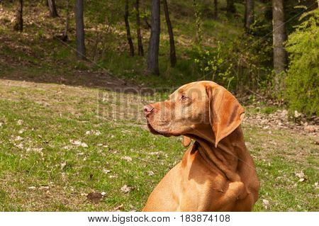 Hungarian pointer Vizsla sniffing on hunt. Dog a loyal friend of a hunter. Detail of dog head stock photo