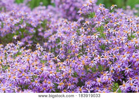 Felicia amelloides (Blue Marguerite). Purple Marguerite daisy flowers blooming vibrantly. Drought resistant half hearty annual popular to grow in pots window-boxes hanging baskets. stock photo