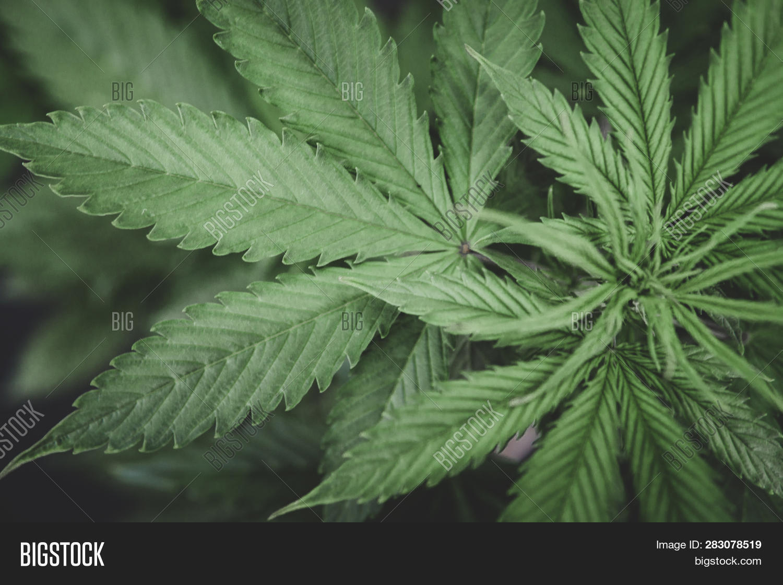 Home Cannabis Grow Operation. Planting Cannabis. Macro Shot. Hemp Flower Indoor Growing. Grow Legal