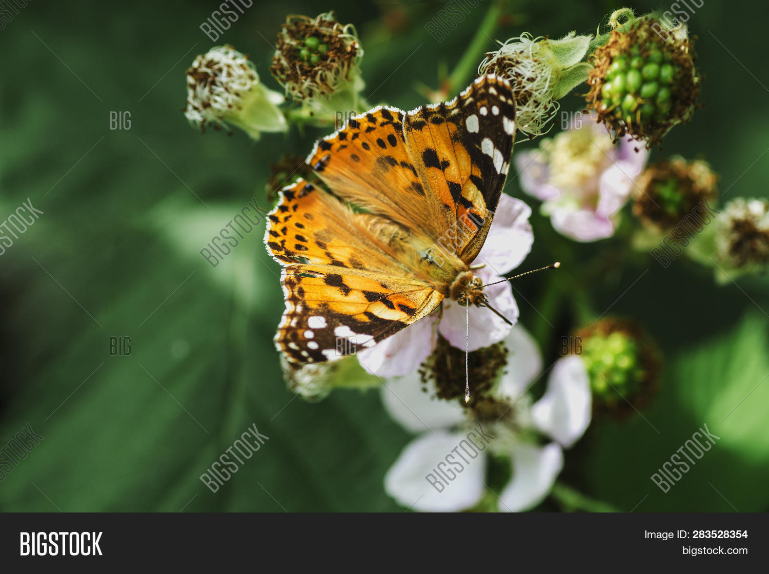 BlackBerry,abdomen,animal,antenna,background,beauty,black,blossom,butterfly,change,close-up,collects,color,copy,cycle,entomologist,flower,fragility,garden,head,image,insect,invertebrate,lepidoptera,life,macro,moustache,nature,nectar,new,open,opening,orange,out,pets,short,single,spring,white,wild,wildflower,wildlife,wing