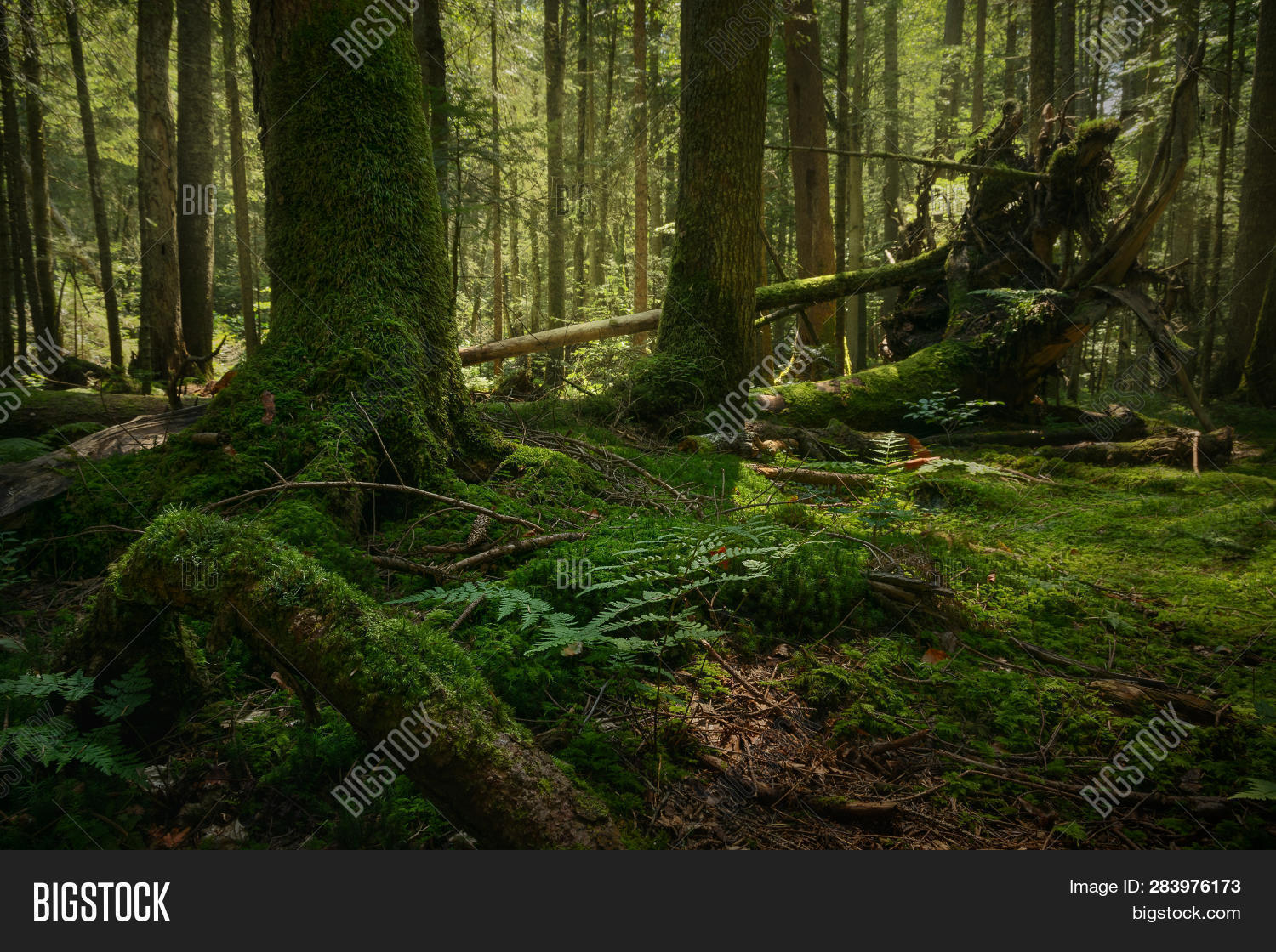 ancient,background,branches,bright,calm,color,countryside,dark,dry,ecosystem,environment,environmental,foliage,forest,freshness,grass,green,humid,landscape,leaf,leaves,light,lush,misty,morning,moss,mountain,mystic,natural,nature,outdoor,peaceful,plants,preservation,rainforest,roots,rural,serbia,sunlight,tara,tranquil,travel,tree,untouched,vivid,walk,walkway,weather,wild,woodland