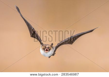 Flying Natterer's bat (Myotis nattereri) action shot of hunting animal on bright brown background. This species is medium sized with distictive white belly, nocturnal and insectivorous and found in Europe and Asia. stock photo