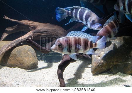 Frontosa Cichlid(Cyphotilapia frontosa) Endemic Cichlid from Lake Tanganyika. They are Schooling fish and Maternal Mouthbrooder stock photo