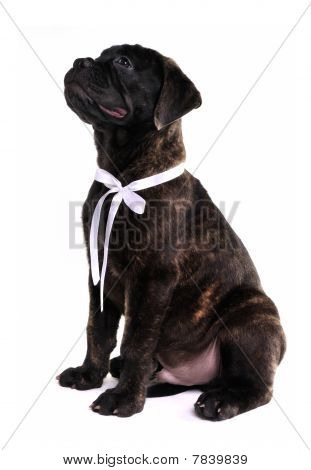 Cute puppy of Bullmastiff is sitting and begging stock photo
