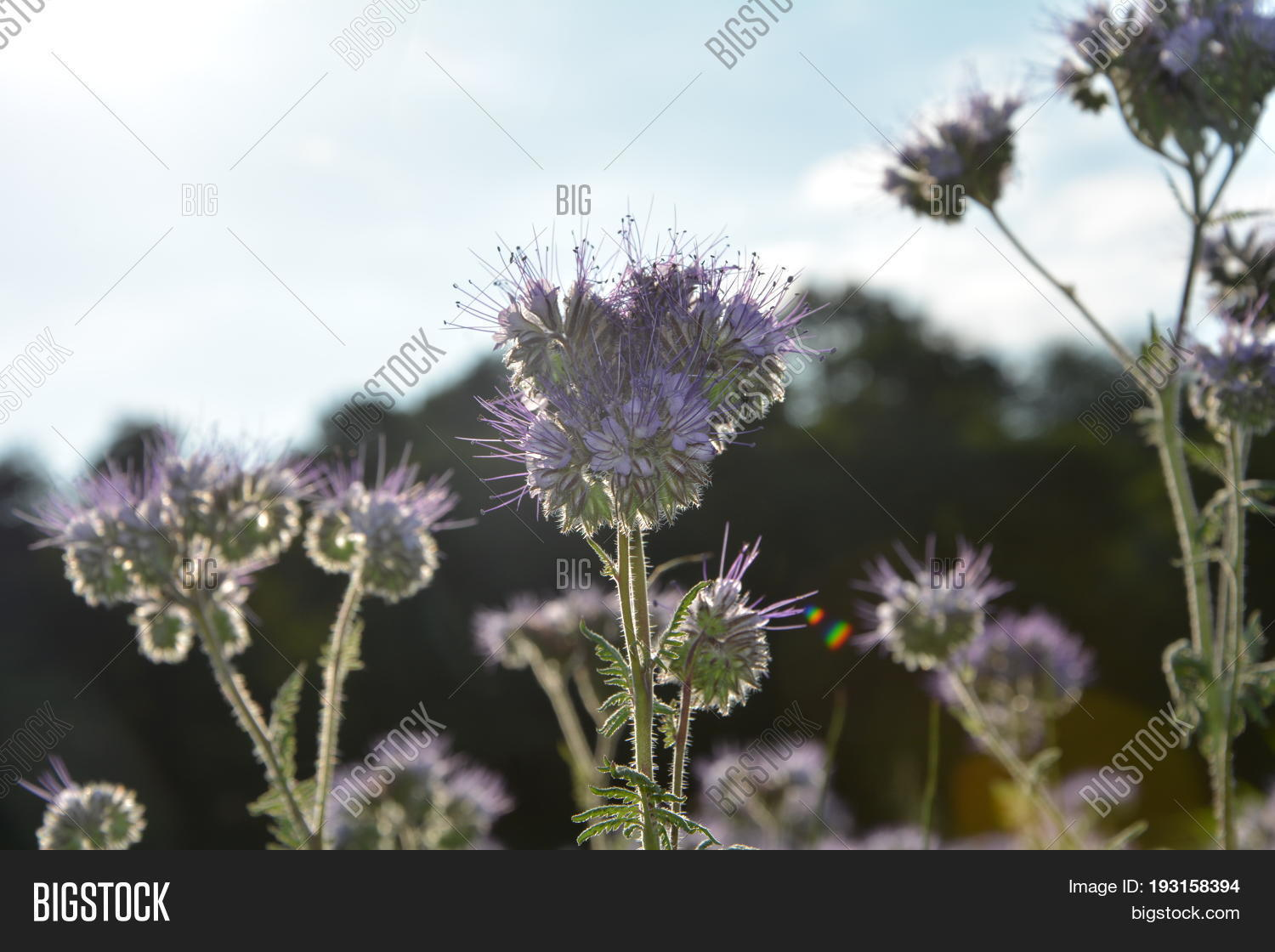 Asteriden,Back,Boraginaceae,Hydrophylloideae,Kerneudikotyledonen,Phacelia,Rau's,agrarian,agriculture,bee's,beekeeper's,bees,blossom,blue,bumblebee,close-up,country,detail,farming,fern-Phazelie,field,flower,food,friend,green,grow,honey,insect,lavender,light,lilac,margin,meadow,nectar,pastures,plant,pollen,scorpionweed,sheet,sky,tanacetifolia,violet,water