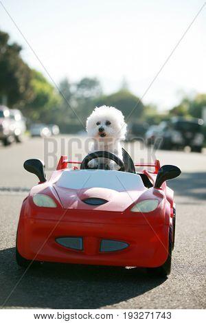 Bichon Frise Dog enjoys a ride in a pedal car. Fifi the Bichon Frise, takes her Red Hot Rod Pedal Ca-Lg Fridge Magnet Skin (size 36x65)