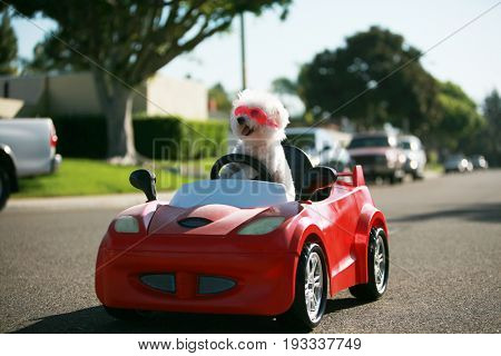 Happy Dog in car. Bichon Frise Dog wears Hot Pink Goggles and enjoys a ride in a pedal car. Fifi the