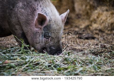 A pink Vietnamese pig resting lying on a straw on a farm in the shade stock photo