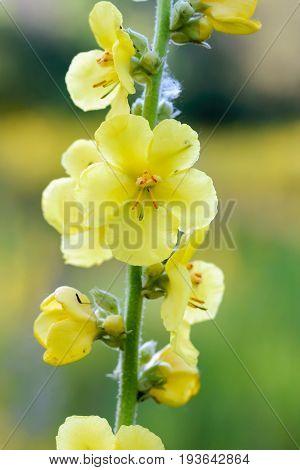 Yellow Verbascum blattaria flower also known as moth mulleinvelvet plant in the meadow under the soft morning summer sun in Kiev Ukraine stock photo