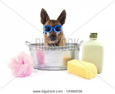 Petit chihuahua dans une petite baignoire m tallique for Baignoire metallique