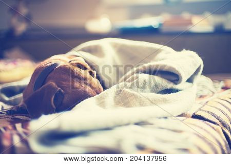 Small brown dog sleeps comfortably on a bed wrapped in a blanket on blurred background. stock photo