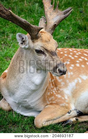 Male adult Sika Deer resting on the grass stock photo