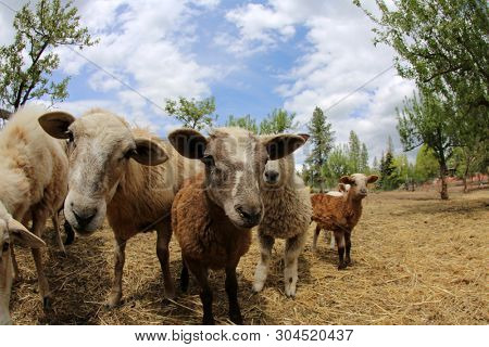 Funny Fish Eye lens photos of Sheep. Sheep and Lambs look into a Fish Eye camera lens for a funny distorted photo. Funny animal pictures. stock photo