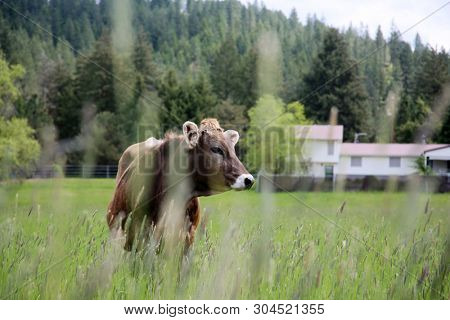 Cow. A beautiful cow in a green field or pasture. Milk Cow outside on a farm.  stock photo
