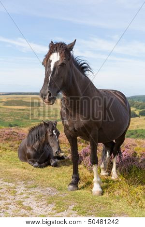 Wild ponies Quantock Hills Somerset England with purple heather stock photo
