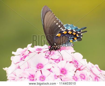 Ventral view of a Green Swallowtail butterfly feeding on light pink Phlox flowers stock photo