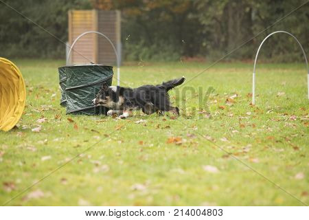 Dog Border Collie running in agility competition stock photo