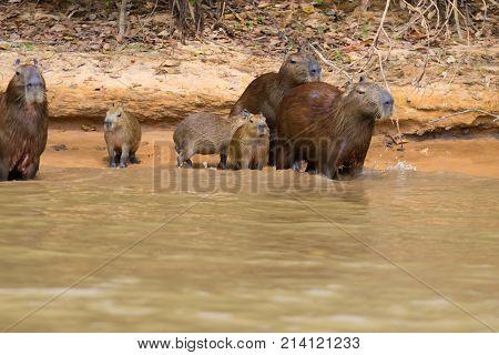 Herd of Capybara on riverbank from Pantanal Brazil. Brazilian wildlife. Hydrochoerus hydrochaeris stock photo