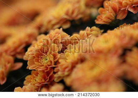 Little orange and yellow mum flowers macro background