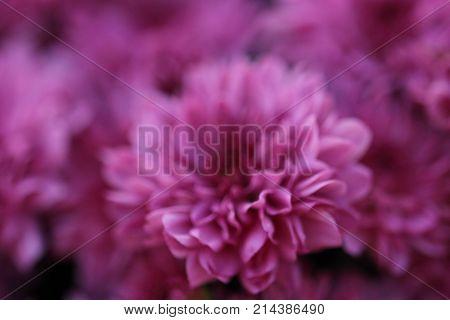 Little pink / purple mum flower background
