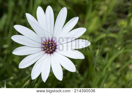 White Osteospermum Ecklonis with its signature blue centre. Also known as Cape Marguerite Van Stadens river daisy Sundays river daisy and stars of the veldt. stock photo