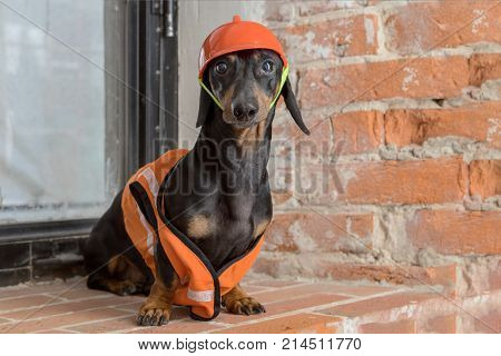 Dachshund dog black and tan sits on the background of a dirty window and a brick wall in an orange construction vest and helmet during a building renovation