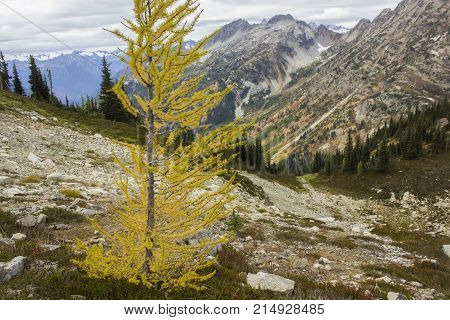 A tamarack, or western larch, changes color in the fall like a deciduous tree, then looses all its needles in winter.