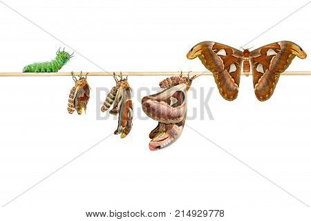 Isolated life cycle of female attacus atlas moth from caterpillar cocoon ( attacus atlas ) on white with clipping path stock photo
