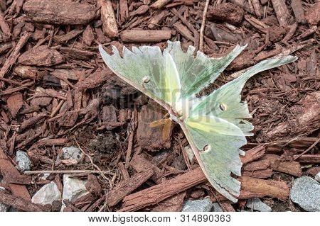 What was once an active beautiful green luna moth is now almost lifeless with tattered and torn wings. It rests on mulch in the flower and rock garden in Missouri. Bokeh. stock photo