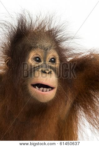 Close-up of a young Bornean orangutan, mouth opened, Pongo pygmaeus, 18 months old, isolated on white stock photo