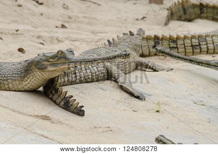 crocodiles or true crodiles are large aquatic reptiles that live throughout the tropics in africaasia the americas and  aggression, aggressive, alligator, animal, australia, stock photo